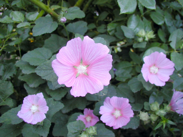 2006 Mvp Award Most Valuable Perennial Lavatera Tauricensis