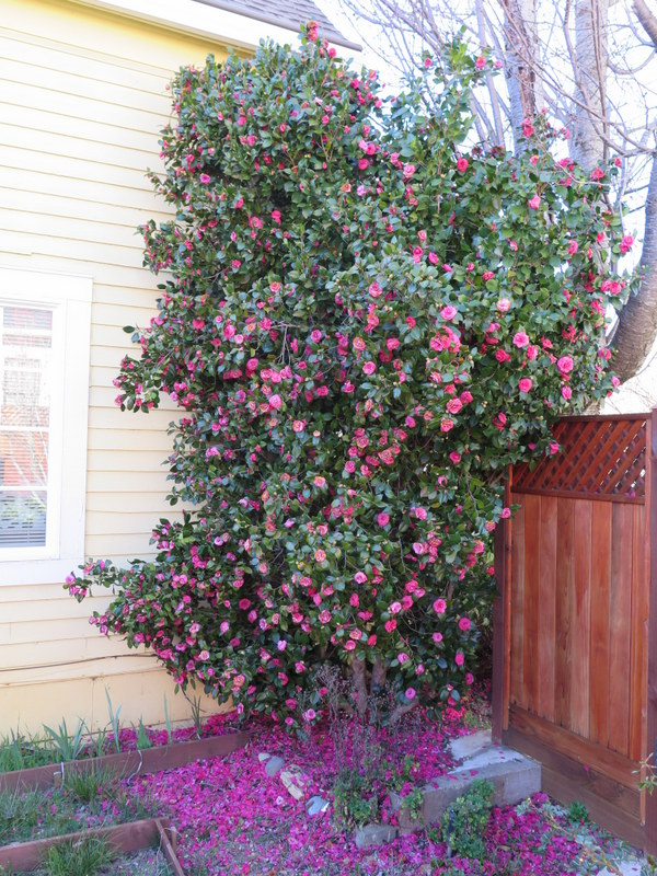 Spring flowering shrubs at our california home valley gardens spring flowering shrubs at our california home mightylinksfo